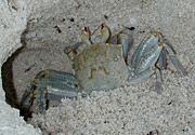 Ghost-Crab-2