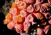 faulkners-coral-01